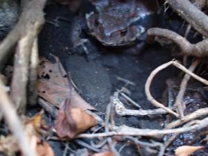 冬眠中のカエルかな